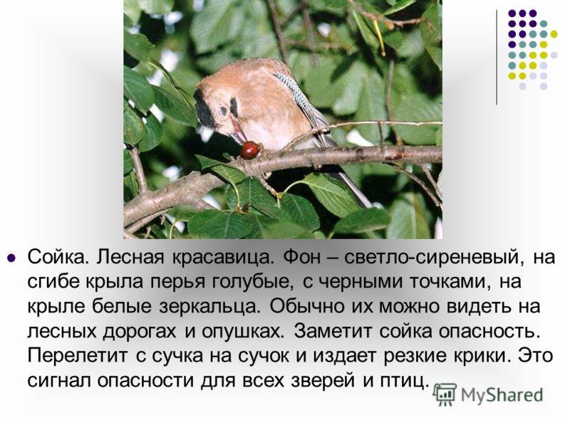 Сойка. Лесная красавица. Фон – светло-сиреневый, на сгибе крыла перья голубые, с черными точками, на крыле белые зеркальца. Обычно их можно видеть на лесных дорогах и опушках. Заметит сойка опасность. Перелетит с сучка на сучок и издает резкие крики.