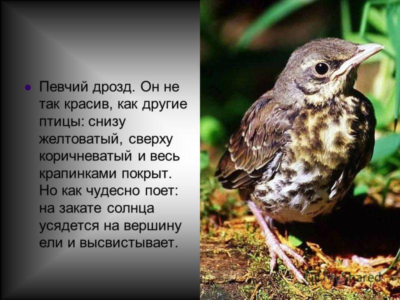 Певчий дрозд. Он не так красив, как другие птицы: снизу желтоватый, сверху коричневатый и весь крапинками покрыт. Но как чудесно поет: на закате солнца усядется на вершину ели и высвистывает.