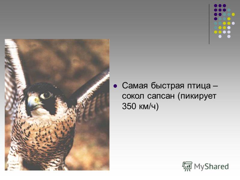 Самая быстрая птица – сокол сапсан (пикирует 350 км/ч)