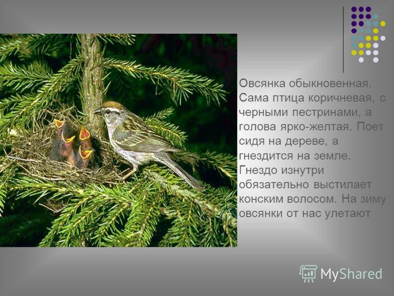 Овсянка обыкновенная. Сама птица коричневая, с черными пестринами, а голова ярко-желтая. Поет сидя на дереве, а гнездится на земле. Гнездо изнутри обязательно выстилает конским волосом. На зиму овсянки от нас улетают