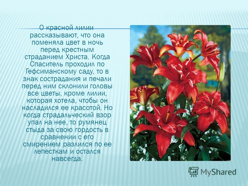 О красной лилии рассказывают, что она поменяла цвет в ночь перед крестным страданием Христа. Когда Спаситель проходил по Гефсиманскому саду, то в знак сострадания и печали перед ним склонили головы все цветы, кроме лилии, которая хотела, чтобы он нас