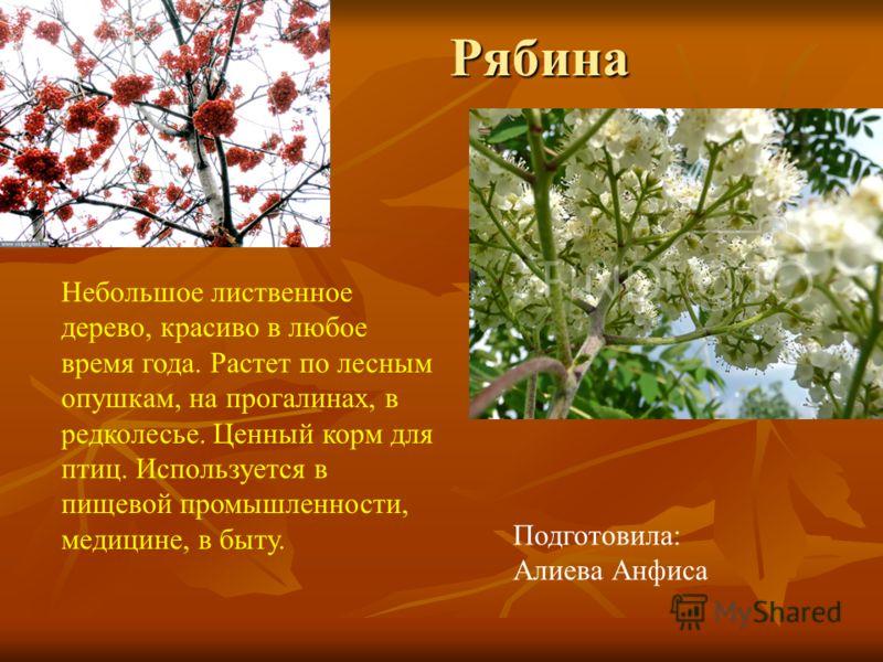 Рябина Подготовила: Алиева Анфиса Небольшое лиственное дерево, красиво в любое время года. Растет по лесным опушкам, на прогалинах, в редколесье. Ценный корм для птиц. Используется в пищевой промышленности, медицине, в быту.