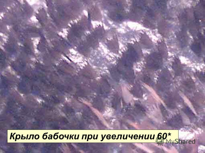 Крыло бабочки (60*) Крыло бабочки при увеличении 60*