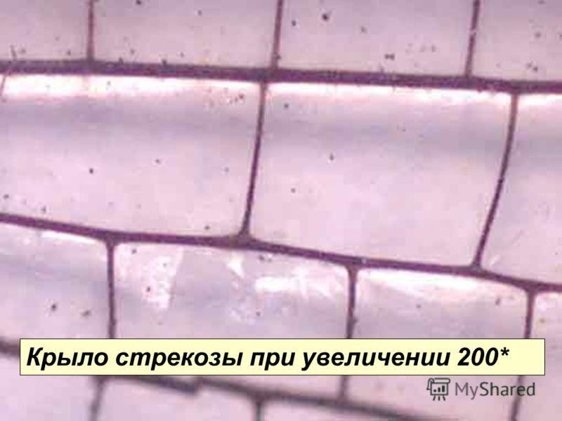 Крыло стрекозы (200*) Крыло стрекозы при увеличении 200*