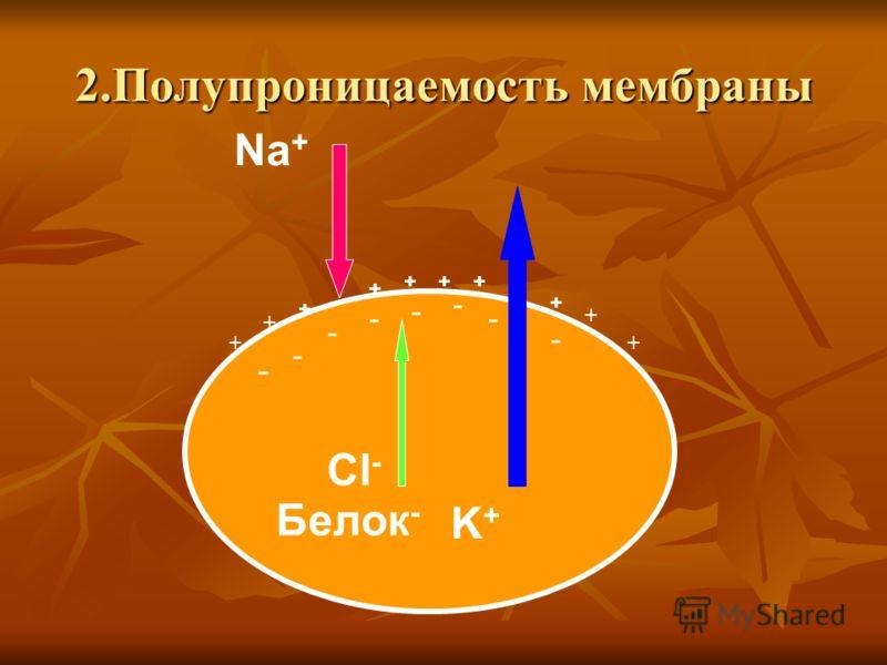 2.Полупроницаемость мембраны K + Na + Cl - Белок - + +++ + + + + + + - - - - - - - -