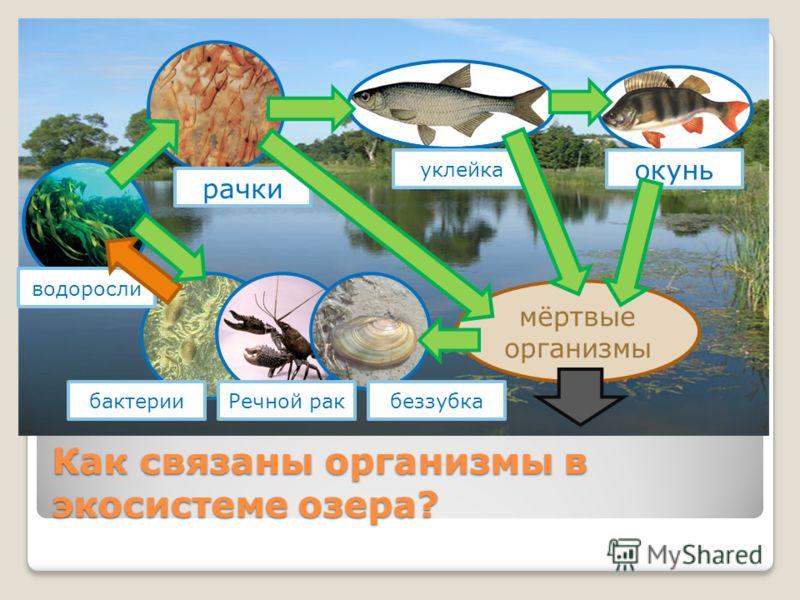 Как связаны организмы в экосистеме озера? мёртвые организмы окунь уклейка рачки водоросли бактерииРечной ракбеззубка