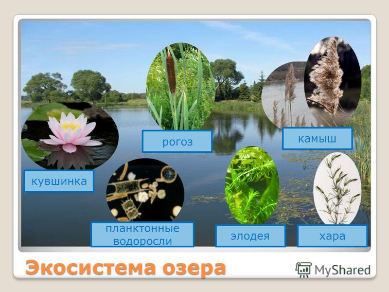 Экосистема озера кувшинка рогоз планктонные водоросли элодеяхара камыш