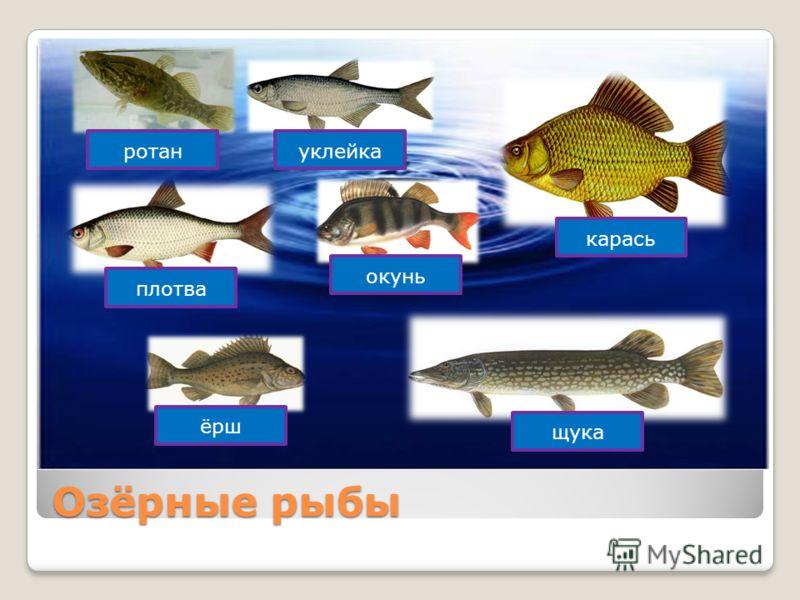 Озёрные рыбы карась щука ёрш окунь плотва ротануклейка