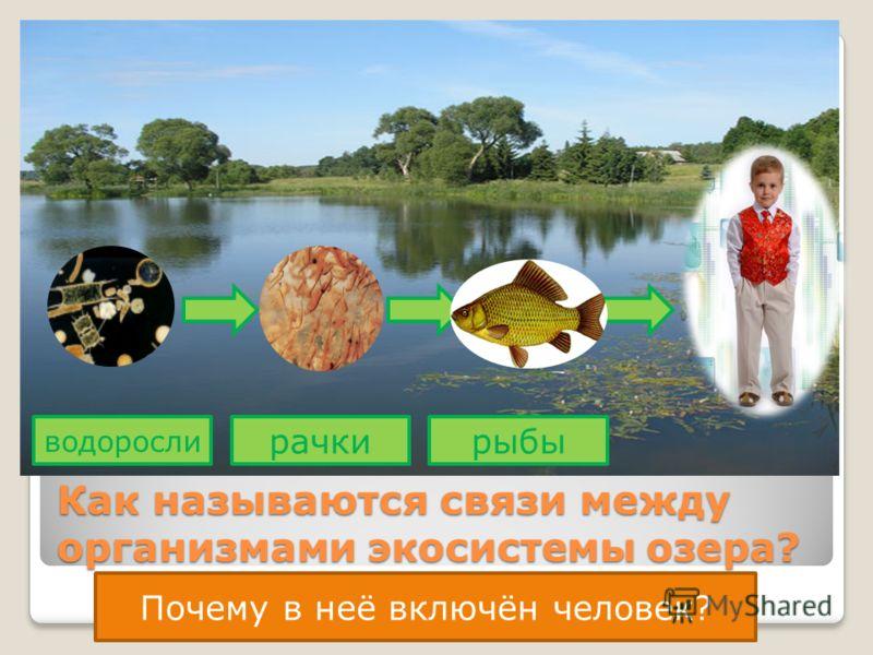 Как называются связи между организмами экосистемы озера? водоросли рачкирыбы Почему в неё включён человек?