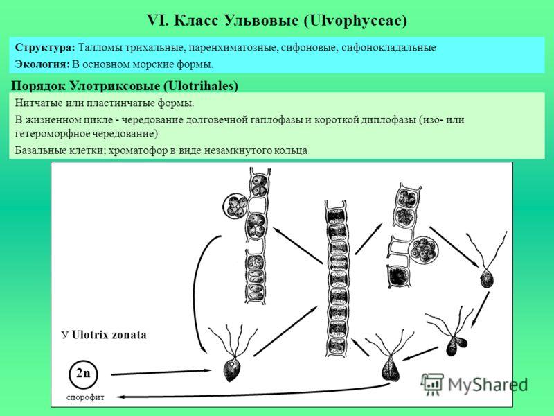 VI. Класс Ульвовые (Ulvophyceae) Порядок Улотриксовые (Ulotrihales) Структура: Талломы трихальные, паренхиматозные, сифоновые, сифонокладальные Экология: В основном морские формы. Нитчатые или пластинчатые формы. В жизненном цикле - чередование долго
