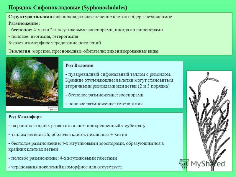 Порядок Сифонокладовые (Syphonocladales) Структура таллома сифонокладальная; деление клеток и ядер - независимое Размножение: - бесполое: 4-х или 2-х жгутиковыми зооспорами, иногда апланоспорами - половое: изогамия, гетерогамия Бывает изоморфное чере