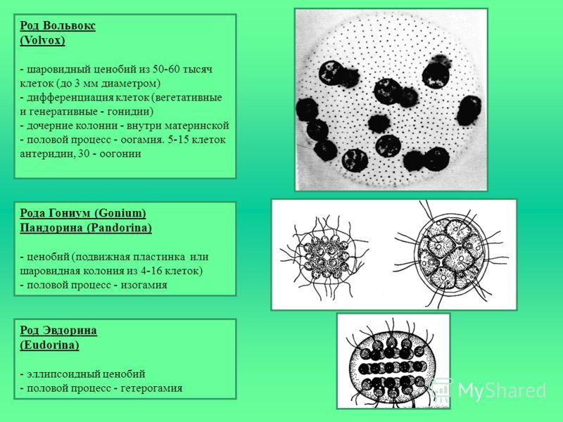 Рода Гониум (Gonium) Пандорина (Pandorina) - ценобий (подвижная пластинка или шаровидная колония из 4-16 клеток) - половой процесс - изогамия Род Эвдорина (Eudorina) - эллипсоидный ценобий - половой процесс - гетерогамия Род Вольвокс (Volvox) - шаров
