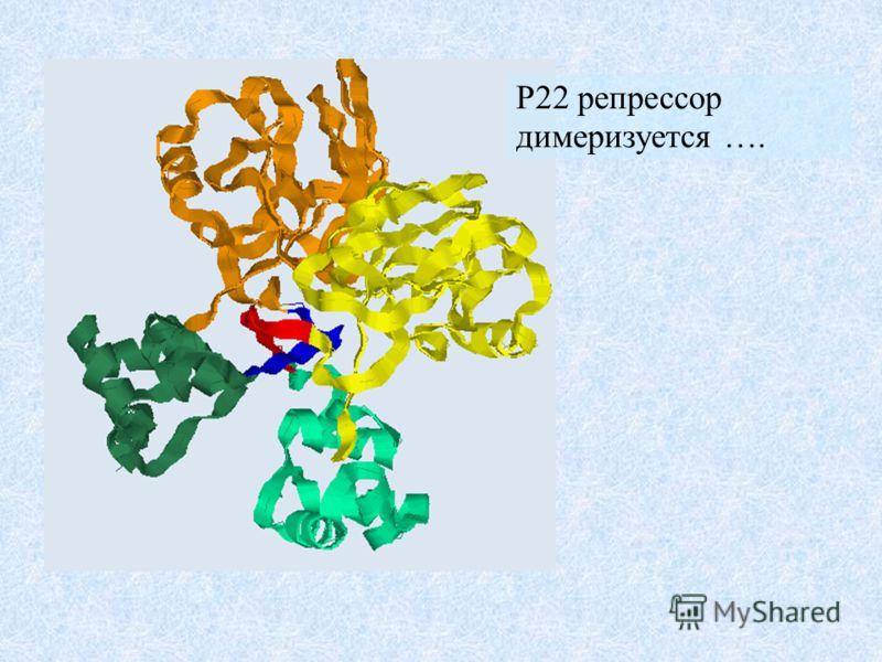 P22 репрессор димеризуется ….