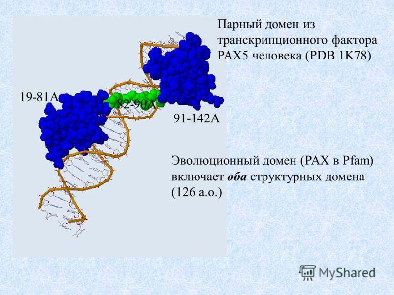 Парный домен из транскрипционного фактора PAX5 человека (PDB 1K78) 19-81A 82-90A 91-142A Эволюционный домен (PAX в Pfam) включает оба структурных домена (126 а.о.)