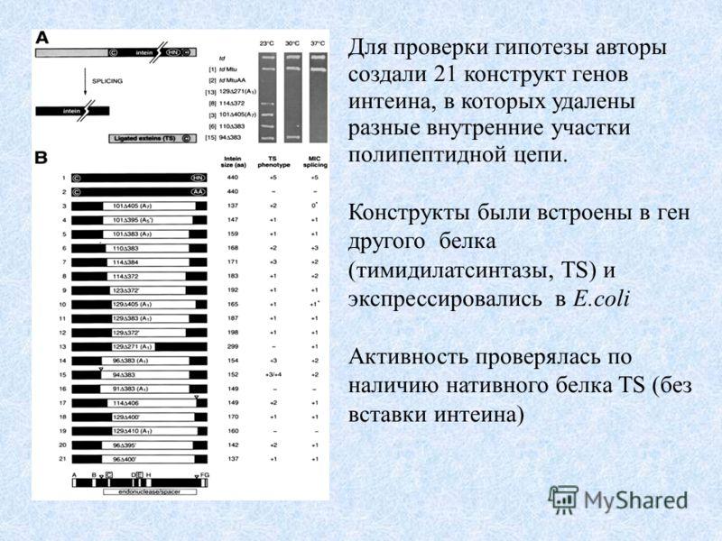 Для проверки гипотезы авторы создали 21 конструкт генов интеина, в которых удалены разные внутренние участки полипептидной цепи. Конструкты были встроены в ген другого белка (тимидилатсинтазы, TS) и экспрессировались в E.coli Активность проверялась п