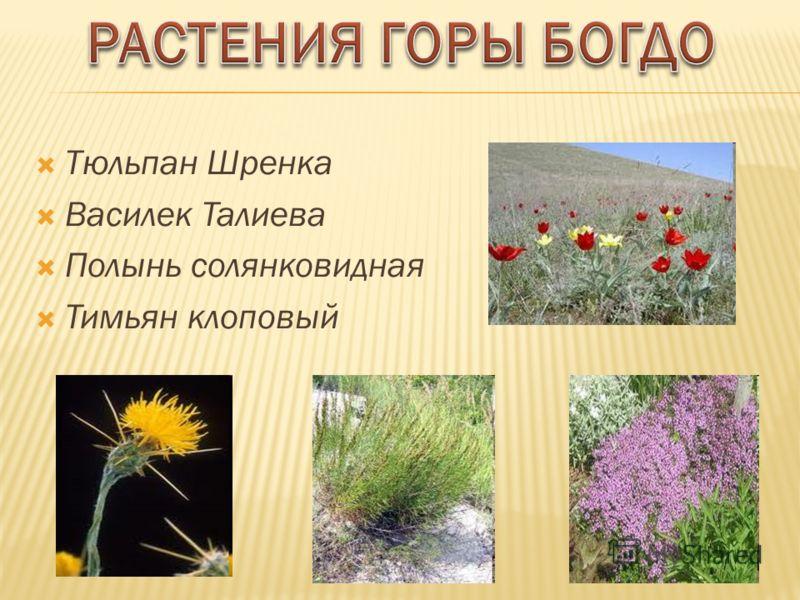 Из 24 видов растений Астраханской области, занесены в Красную книгу, 9 произрастают на горе Большое Богдо.