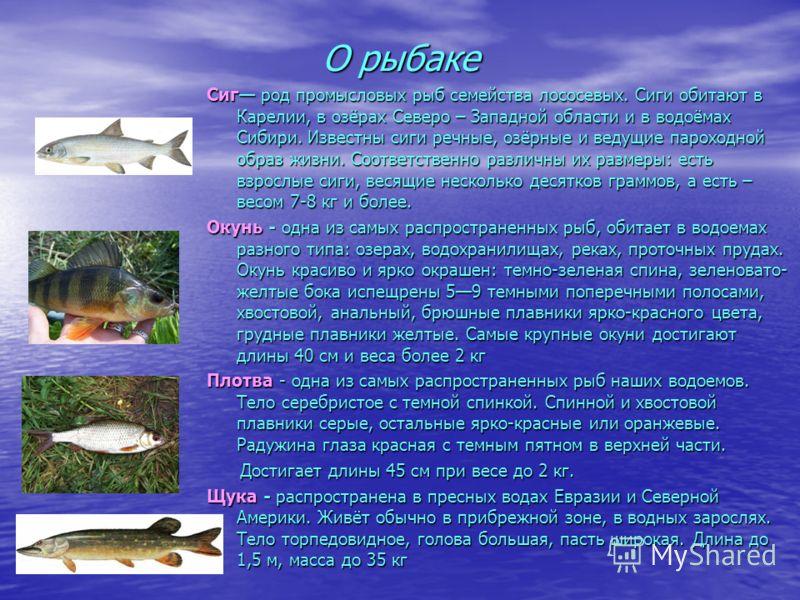 О рыбаке Сиг род промысловых рыб семейства лососевых. Сиги обитают в Карелии, в озёрах Северо – Западной области и в водоёмах Сибири. Известны сиги речные, озёрные и ведущие пароходной образ жизни. Соответственно различны их размеры: есть взрослые си