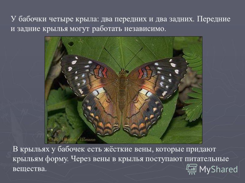 У бабочки четыре крыла: два передних и два задних. Передние и задние крылья могут работать независимо. В крыльях у бабочек есть жёсткие вены, которые придают крыльям форму. Через вены в крылья поступают питательные вещества. У бабочки четыре крыла: д