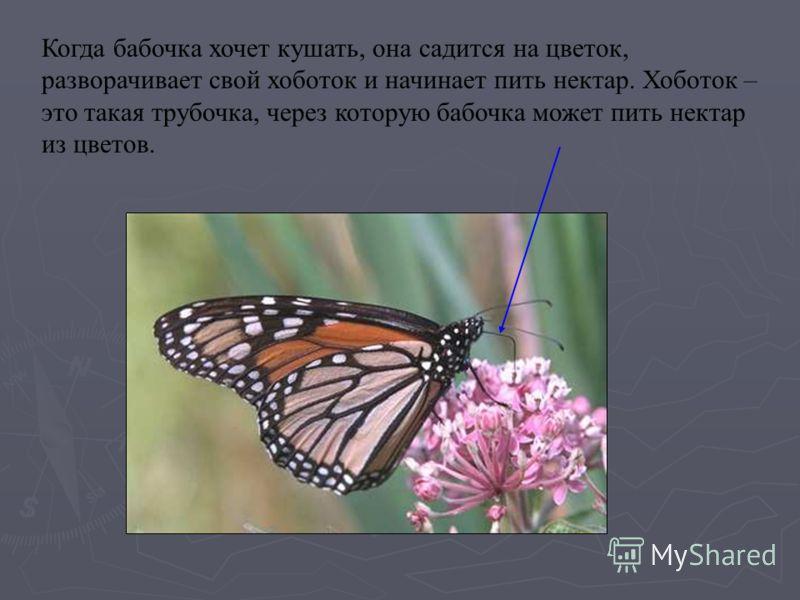 Когда бабочка хочет кушать, она садится на цветок, разворачивает свой хоботок и начинает пить нектар. Хоботок – это такая трубочка, через которую бабочка может пить нектар из цветов.
