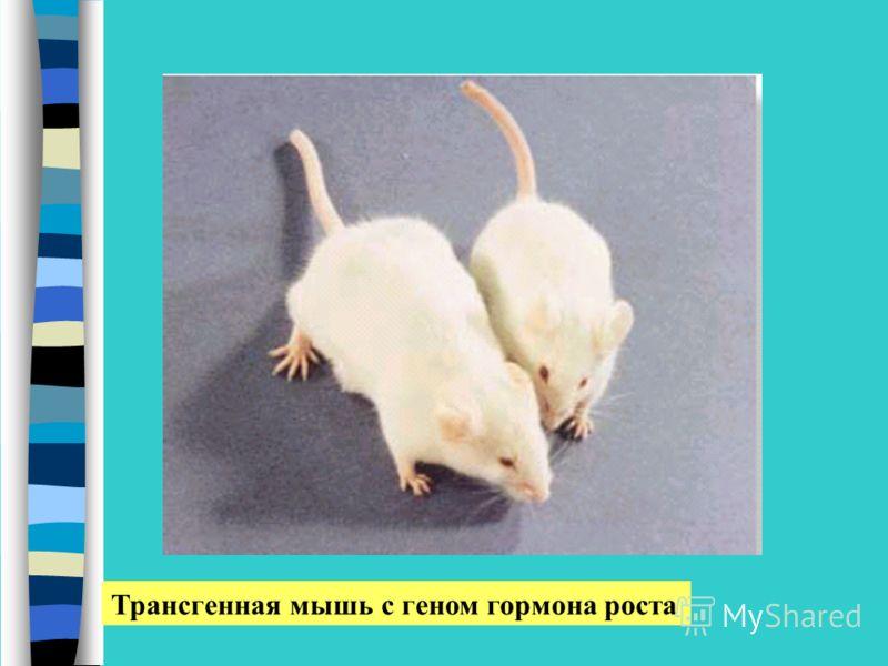 Трансгенная мышь с геном гормона роста