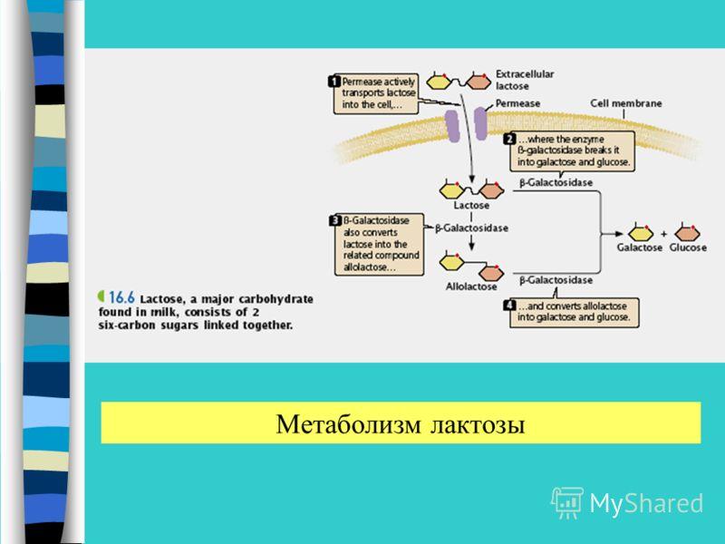 Метаболизм лактозы