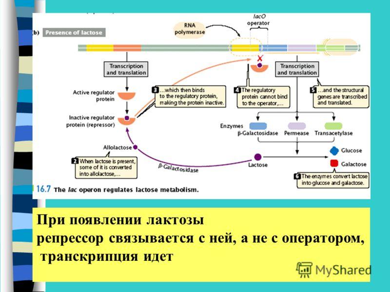 При появлении лактозы репрессор связывается с ней, а не с оператором, транскрипция идет