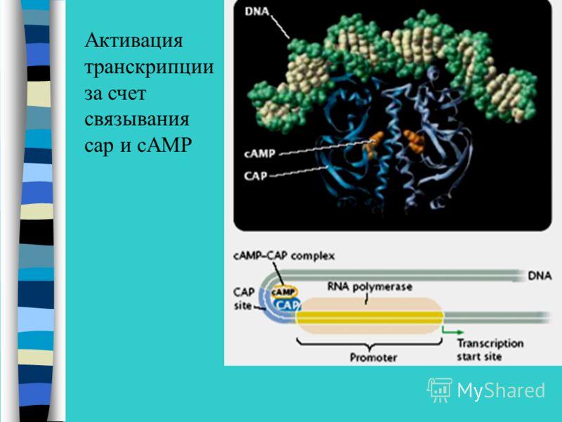 Активация транскрипции за счет связывания сap и сAMP