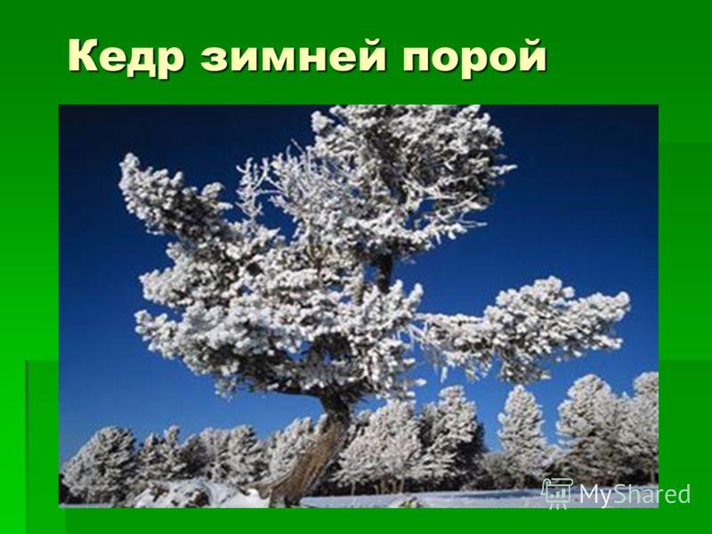 Кедр зимней порой
