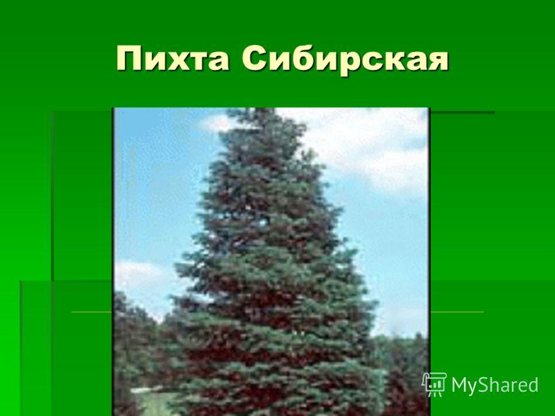 Пихта Сибирская