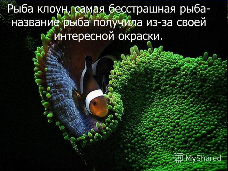 Рыба клоун, самая бесстрашная рыба- название рыба получила из-за своей интересной окраски.