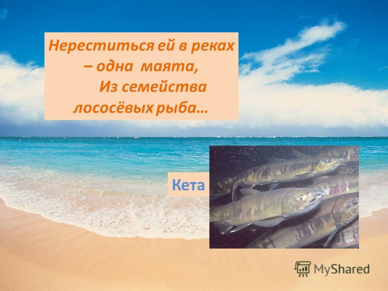 Нереститься ей в реках – одна маята, Из семейства лососёвых рыба… Кета