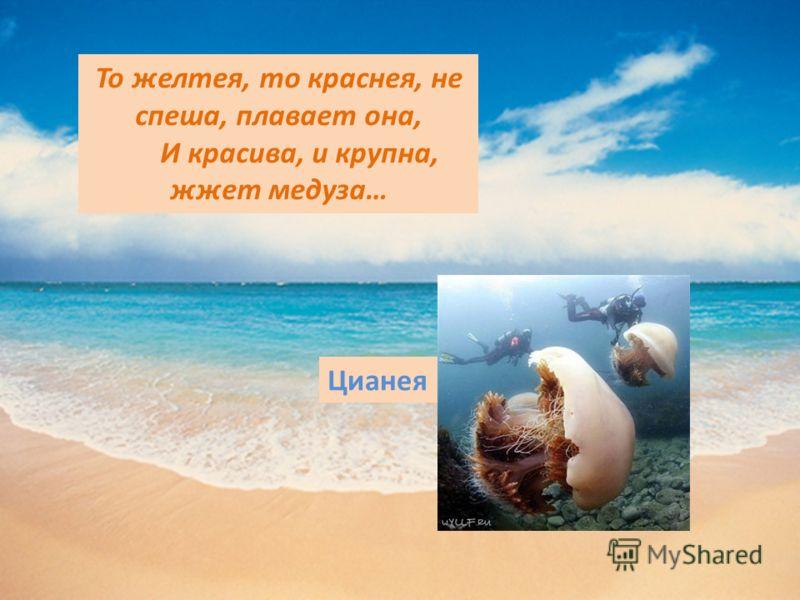 То желтея, то краснея, не спеша, плавает она, И красива, и крупна, жжет медуза… Цианея