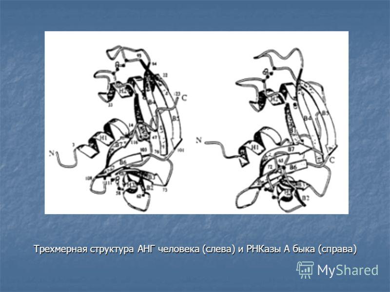 Трехмерная структура АНГ человека (слева) и РНКазы А быка (справа)