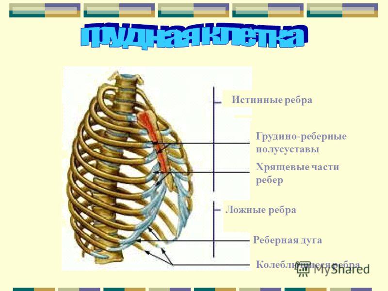 Истинные ребра Грудино-реберные полусуставы Хрящевые части ребер Ложные ребра Реберная дуга Колеблющиеся ребра