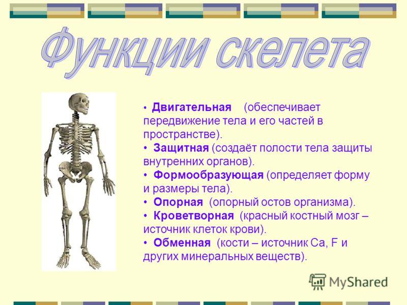 Двигательная (обеспечивает передвижение тела и его частей в пространстве). Защитная (создаёт полости тела защиты внутренних органов). Формообразующая (определяет форму и размеры тела). Опорная (опорный остов организма). Кроветворная (красный костный