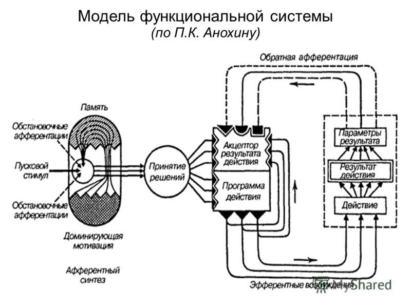 Модель функциональной системы (по П.К. Анохину)