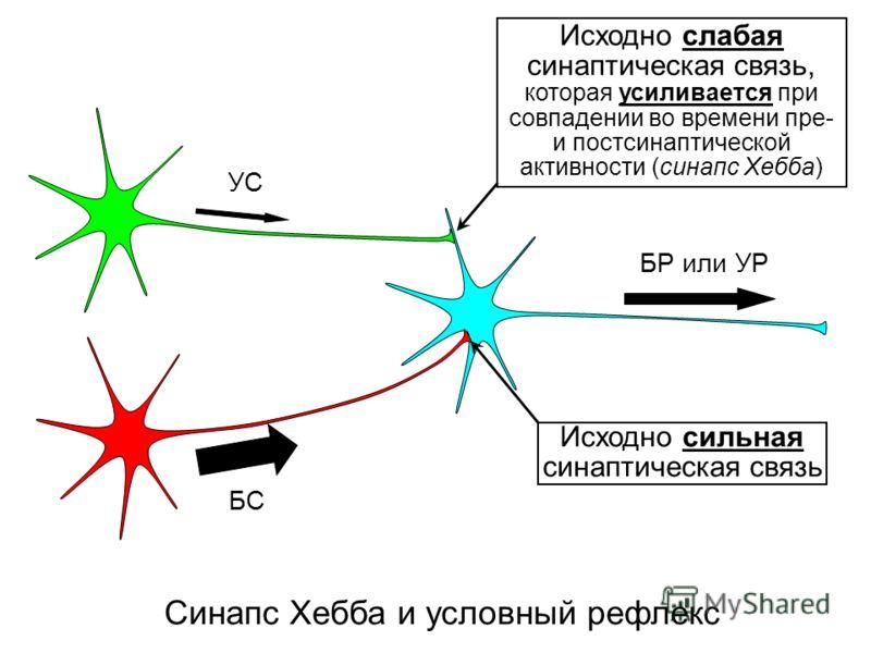 Синапс Хебба и условный рефлекс Исходно сильная синаптическая связь УС БС БР или УР Исходно слабая синаптическая связь, которая усиливается при совпадении во времени пре- и постсинаптической активности (синапс Хебба)