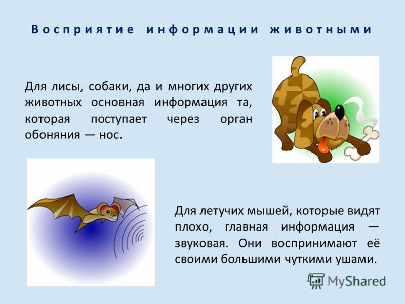 Восприятие информации животными Для лисы, собаки, да и многих других животных основная информация та, которая поступает через орган обоняния нос. Для летучих мышей, которые видят плохо, главная информация звуковая. Они воспринимают её своими большими