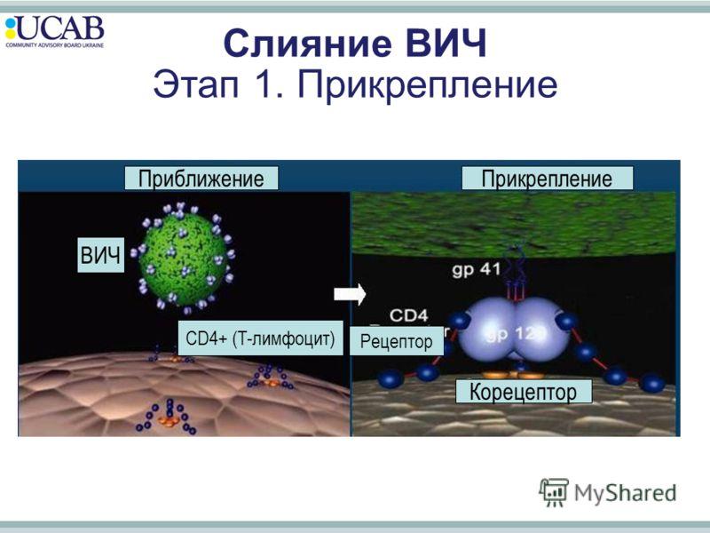 ПриближениеПрикрепление Рецептор Корецептор Слияние ВИЧ Этап 1. Прикрепление ВИЧ CD4+ (T-лимфоцит)