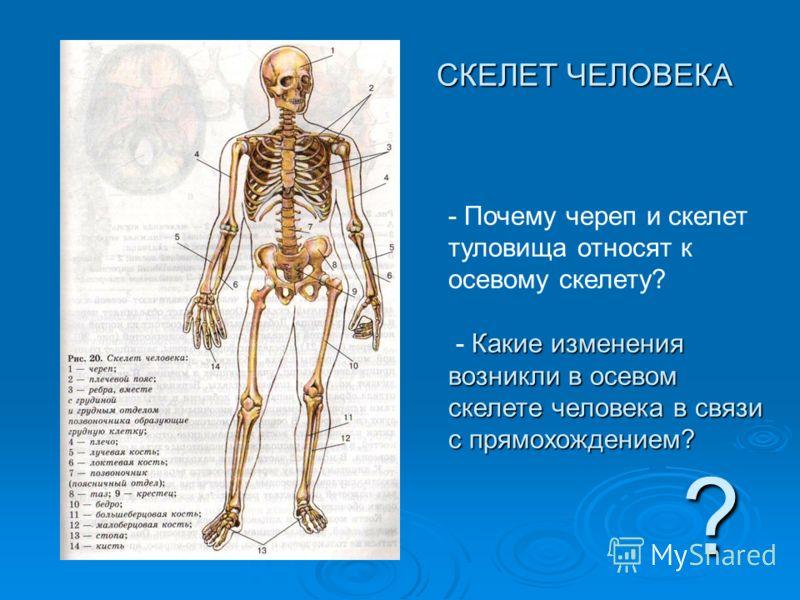 СКЕЛЕТ ЧЕЛОВЕКА СКЕЛЕТ ЧЕЛОВЕКА ? - Почему череп и скелет туловища относят к осевому скелету? Какие изменения возникли в осевом скелете человека в связи с прямохождением? - Какие изменения возникли в осевом скелете человека в связи с прямохождением?