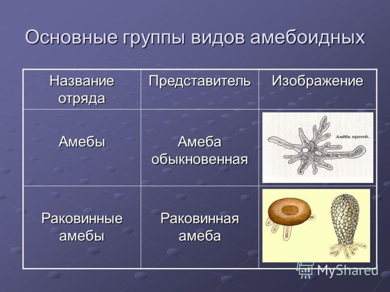 Основные группы видов амебоидных Название отряда ПредставительИзображение Амебы Амеба обыкновенная Раковинные амебы Раковинная амеба