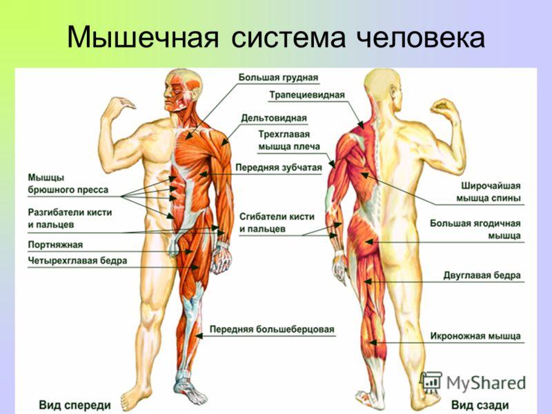 План-конспект урока: мышцы их строение и функции