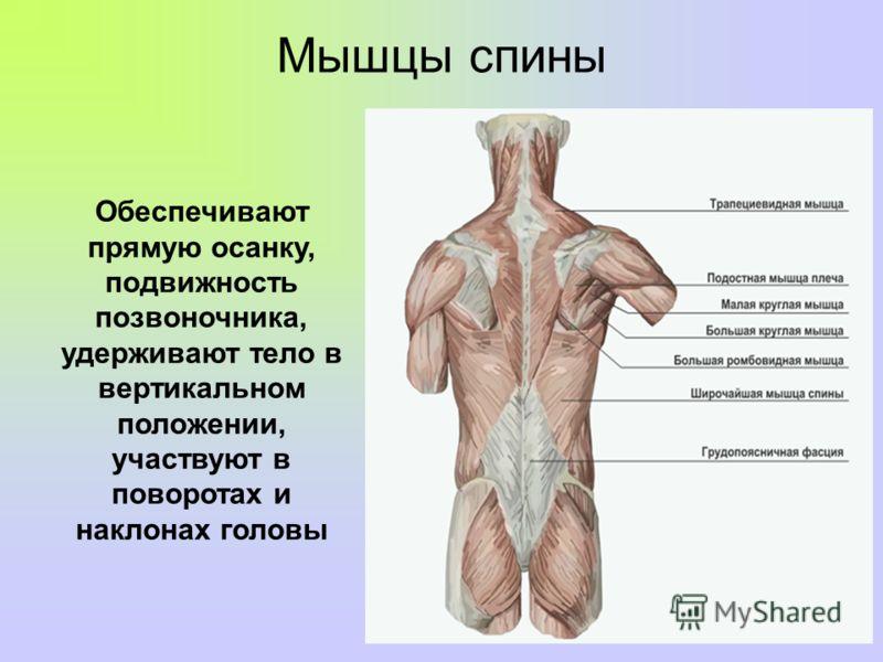 Мышцы спины Обеспечивают прямую осанку, подвижность позвоночника, удерживают тело в вертикальном положении, участвуют в поворотах и наклонах головы