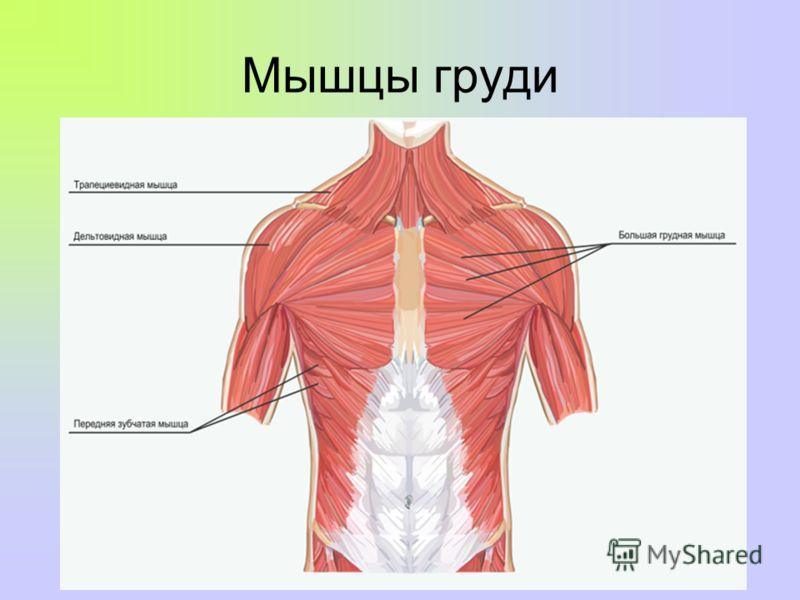 Мышцы груди фото