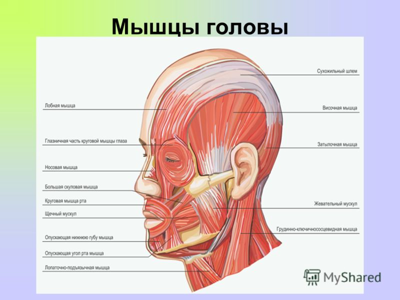 Muscular system part 1 head neck torso arms