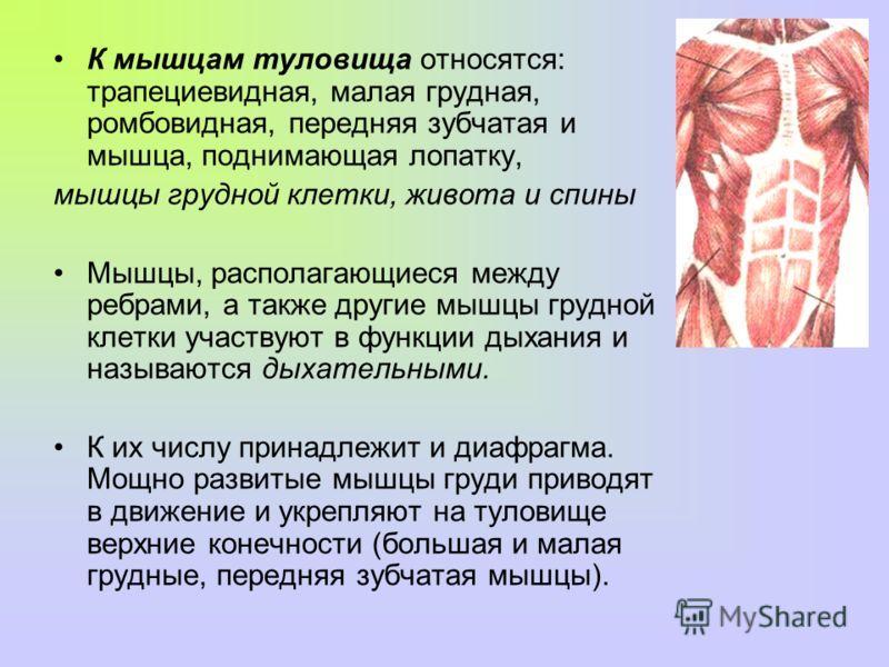 К мышцам туловища относятся: трапециевидная, малая грудная, ромбовидная, передняя зубчатая и мышца, поднимающая лопатку, мышцы грудной клетки, живота и спины Мышцы, располагающиеся между ребрами, а также другие мышцы грудной клетки участвуют в функци