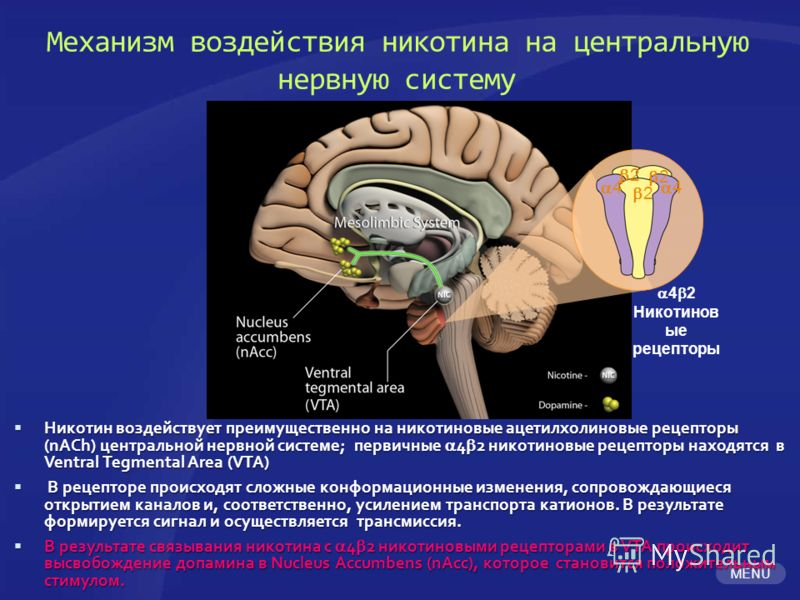 MENU Механизм воздействия никотина на центральную нервную систему Никотин воздействует преимущественно на никотиновые ацетилхолиновые рецепторы (nACh) центральной нервной системе; первичные 4 2 никотиновые рецепторы находятся в Ventral Tegmental Area
