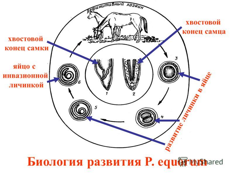Биология развития P. equorum хвостовой конец самки хвостовой конец самца развитие личинки в яйце яйцо с инвазионной личинкой