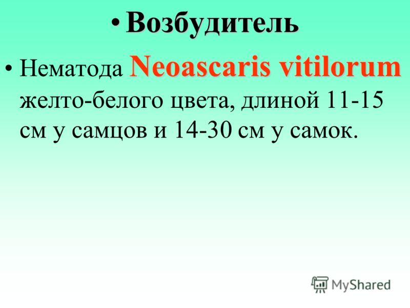 ВозбудительВозбудитель Neoascaris vitilorumНематода Neoascaris vitilorum желто-белого цвета, длиной 11-15 см у самцов и 14-30 см у самок.
