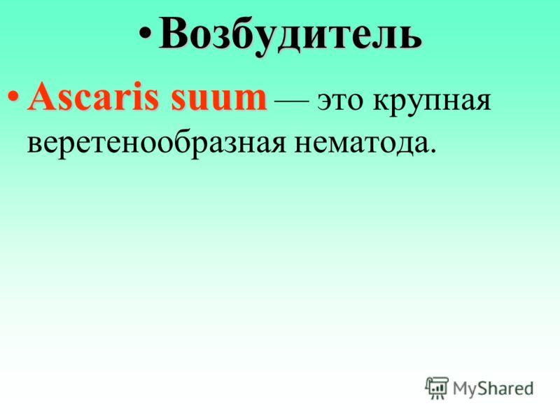 ВозбудительВозбудитель Ascaris suumAscaris suum это крупная веретенообразная нематода.
